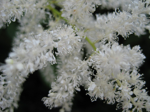 astilbe_chinensis_pumila