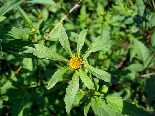 растение череда семена