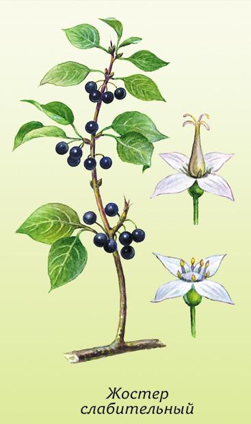 жостер слабительный ботаническая картинка фотографируют зеркальное