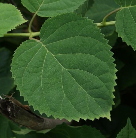 Лист гортензии