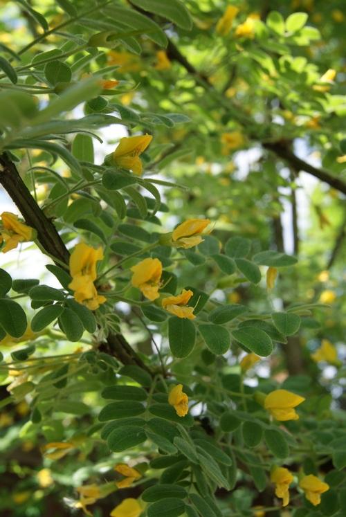Акация желтая фото АПК Витус