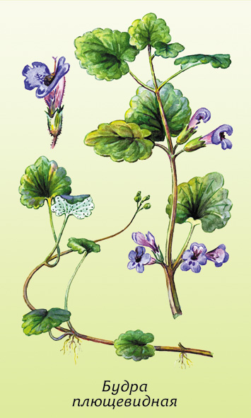 Цветок будра плющевидная
