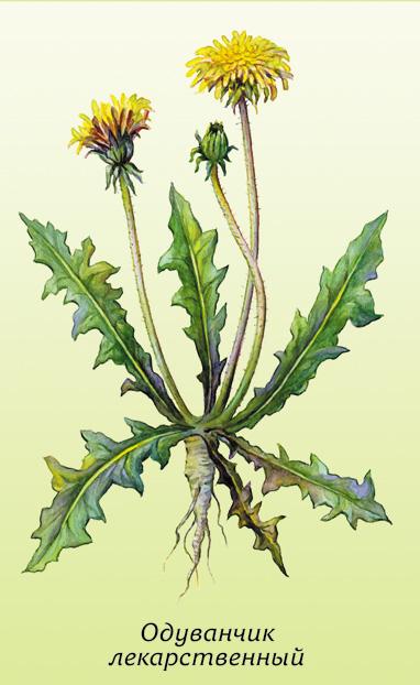Как употреблять в пищу листья одуванчиков