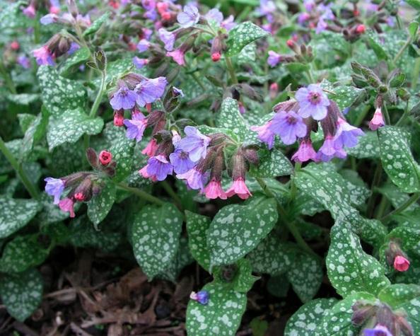 Почвопокровные растения для цветника