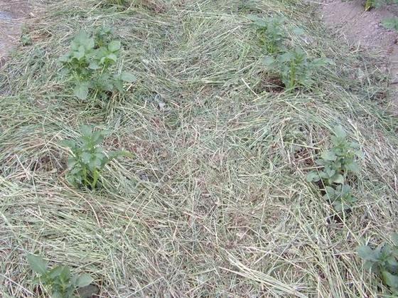 Мульчирование картофеля травой