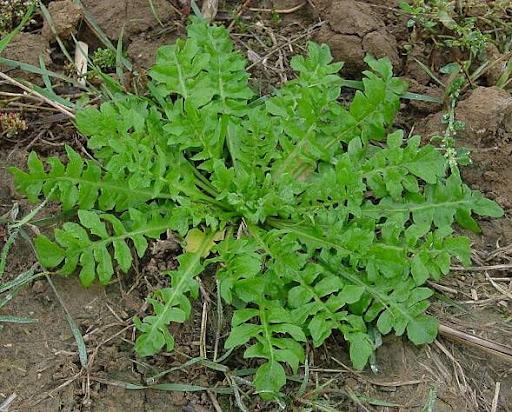 онкология Пастушья сумка (Capsella bursa-pastoris (L.) - растение...