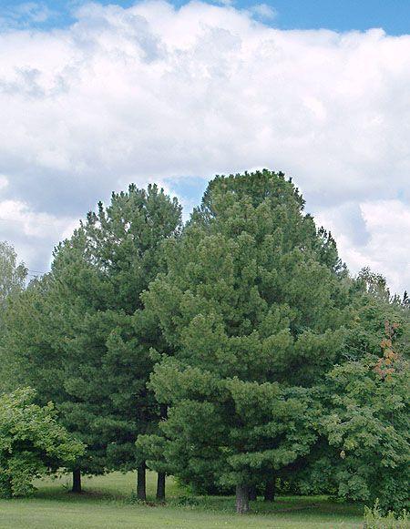 Сосна сибирская (кедровая)