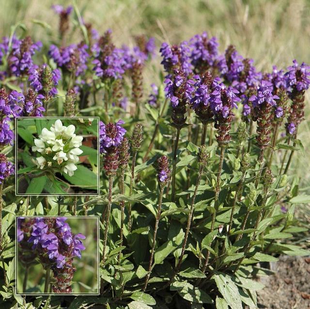 трава черноголовка