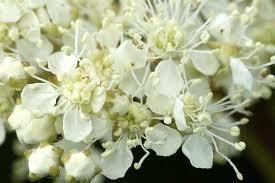 Таволга цветы
